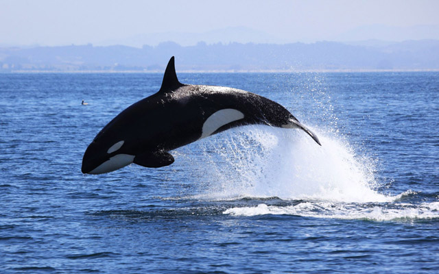 Impressive sight: Killer whale (Stock photo)