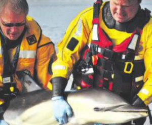 Failed attempts: Coastguard officers and surfers could not save Ynyslas dolphin (Pic: NRW)
