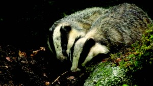 Blamed: badgers
