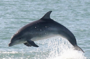 Whistling in the dark: Welsh dolphins have a higher pitch (Photo credit: Sarah Perry)