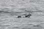 Surveillance order for aggressive dolphins