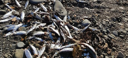 Dead fish in Ceredigion: It is a natural phenomenon